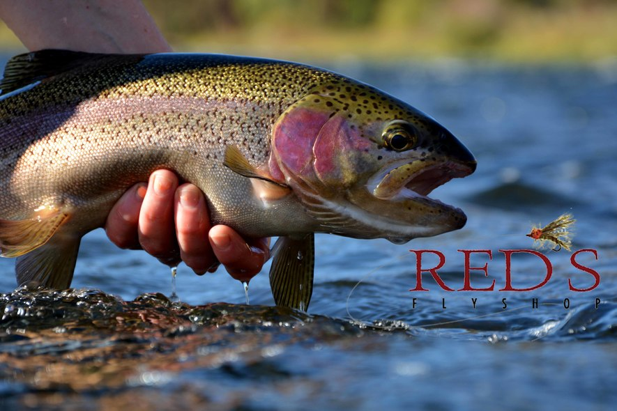 Big Yakima River Rainbow for Brandy
